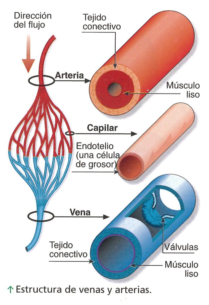 Patricia Garrido Gacía.: Artículo 14. Resumen de los vasos sanguíneos .