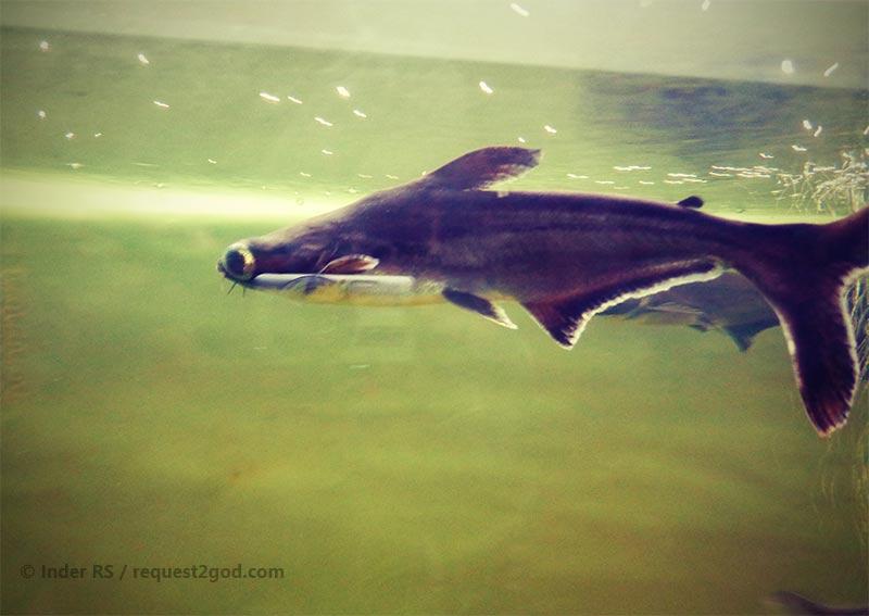 Tiger Shark Freshwater   Tiger Shark Fish For Aquarium 1000 Aquarium Ideas