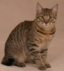 gato común o mestizo