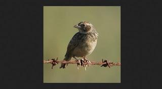 burung-branjangan_236544
