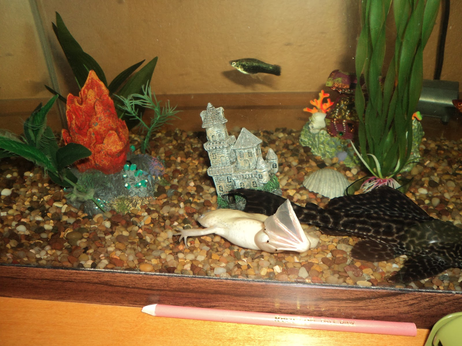 Fish aquarium jobs - In The Elementary Room We Also Have A Plecostomus And A Large African Clawed Frog That Keeps Getting Bigger And Ate All Our Small Fish