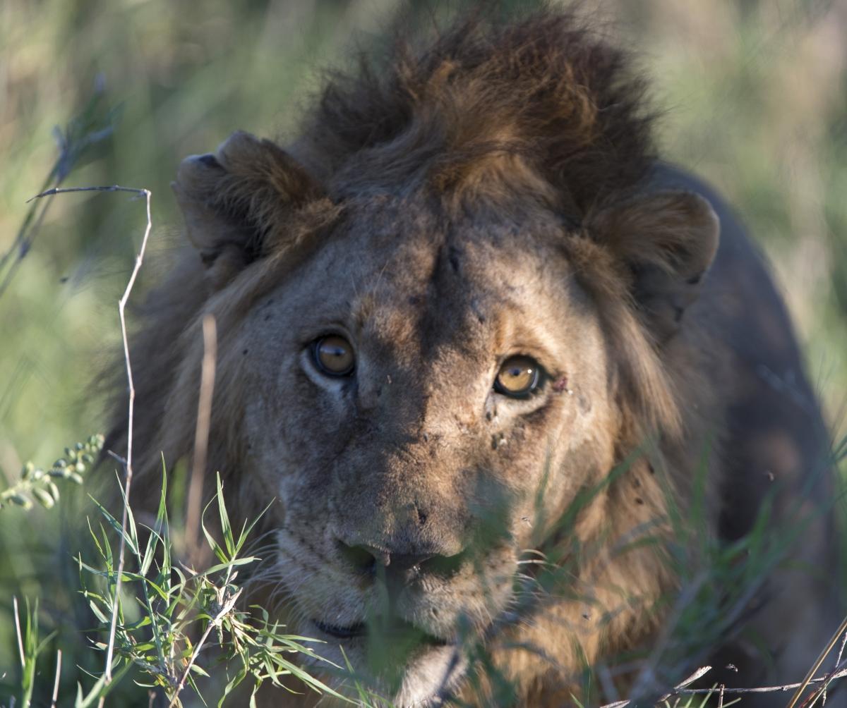 Löwen, Tsavo, Afrika, Wildlife, Safari, lion, lions, africa, kenya