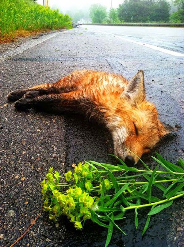 The little fox's heart stopped beating and he took his final breath. - A Man Found A Dead Fox Lying In The Street. When He Returned Later, He Could Not Believe What He Saw