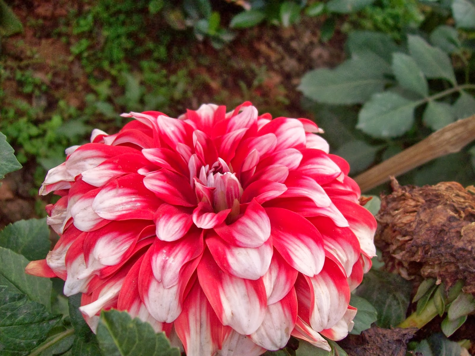 Indian Flowers And Herbs Dazzling Dahlia