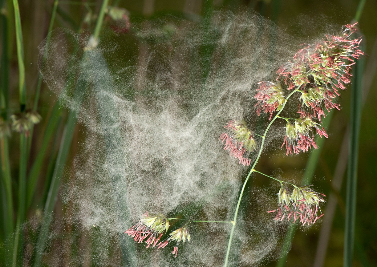 pollen bomb grass allergies ve thickest photographed massive seen few wife times