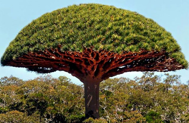 Brothers blood tree, Socotra Island, Yemen