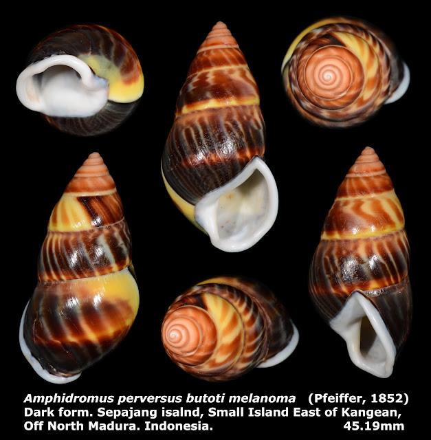 Amphidromus perversus butoti melannoma 45.19mm