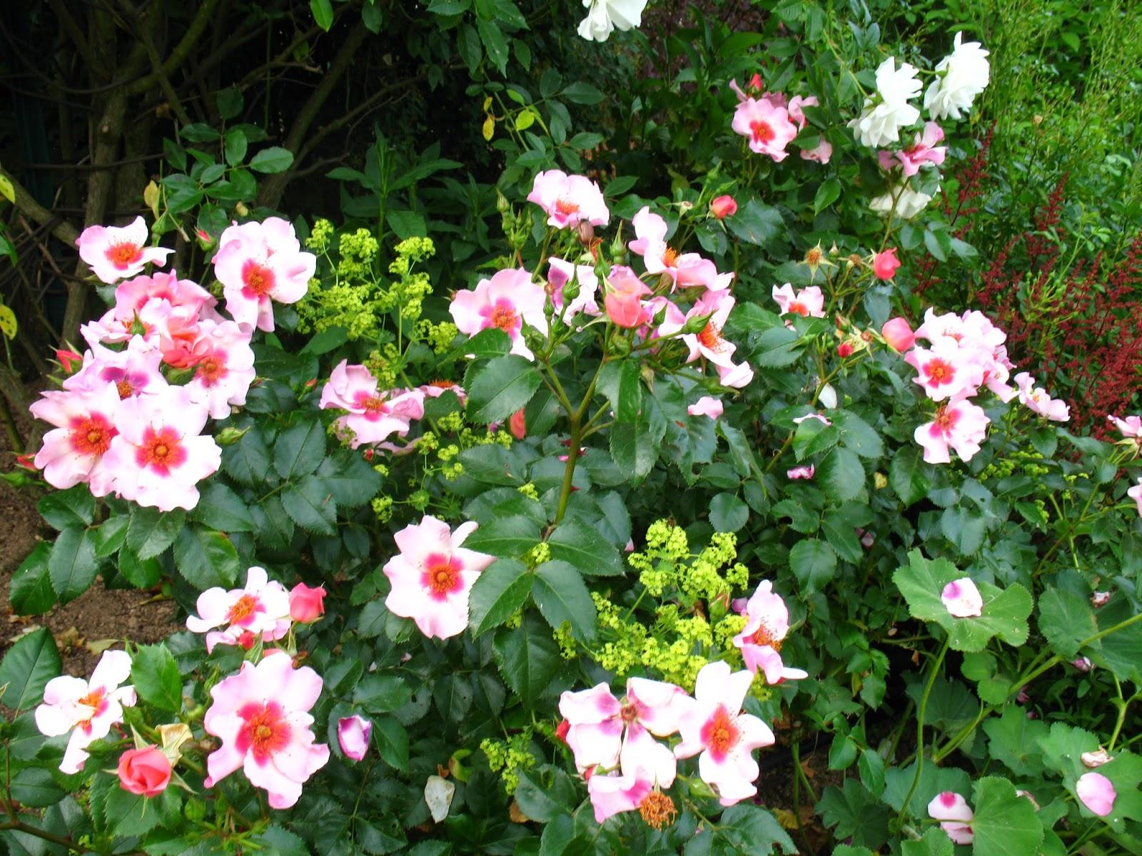 Roses du jardin ch neland rosier iceberg - Quand couper les rosiers ...
