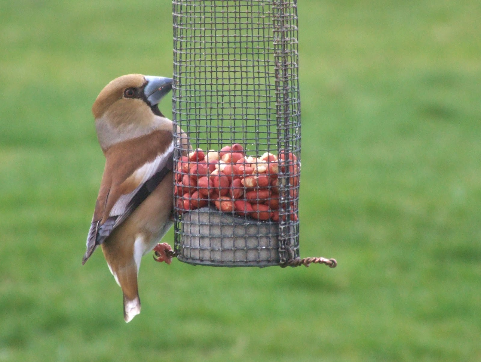 Fair Isle: Hawfinch gone nuts!