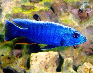 Bán cá ali xanh