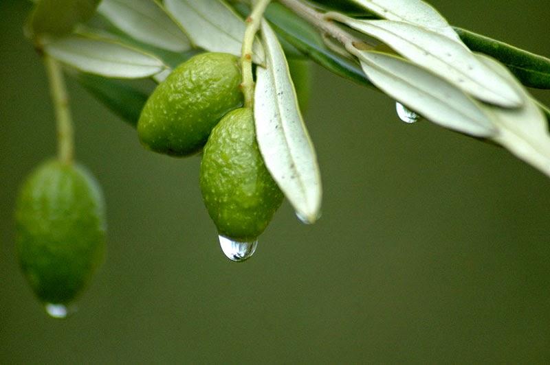 فوائد ورق الزيتون لعلاج مرض السكري