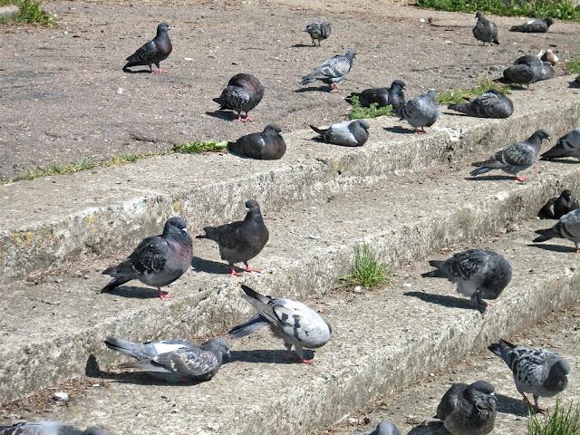 поведение голубей