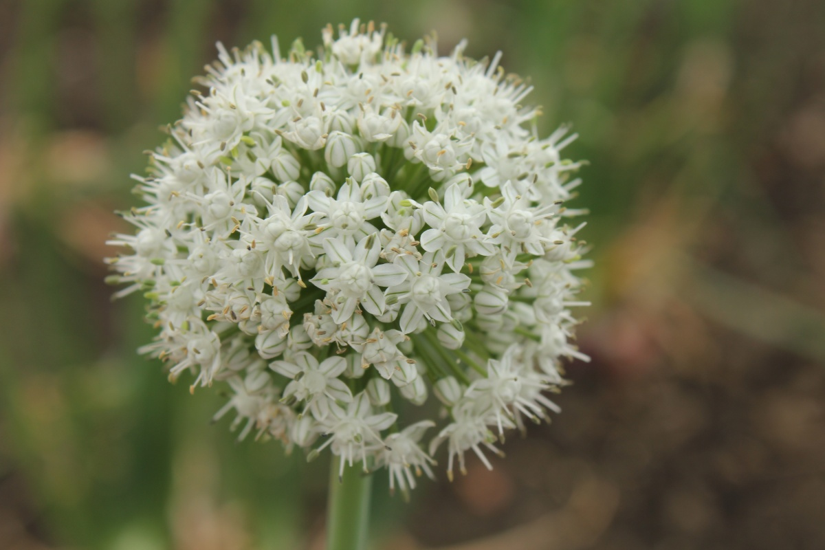 Life at Dharwad: Onion plant and flowers