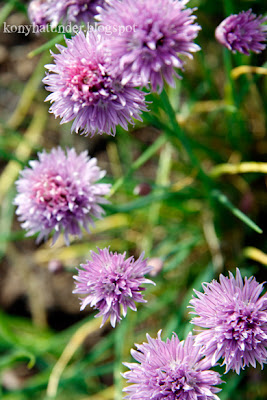 august-in-the-garden-chives-flower