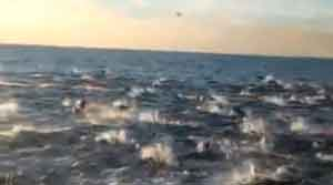 migracion-masiva-de-delfines-video