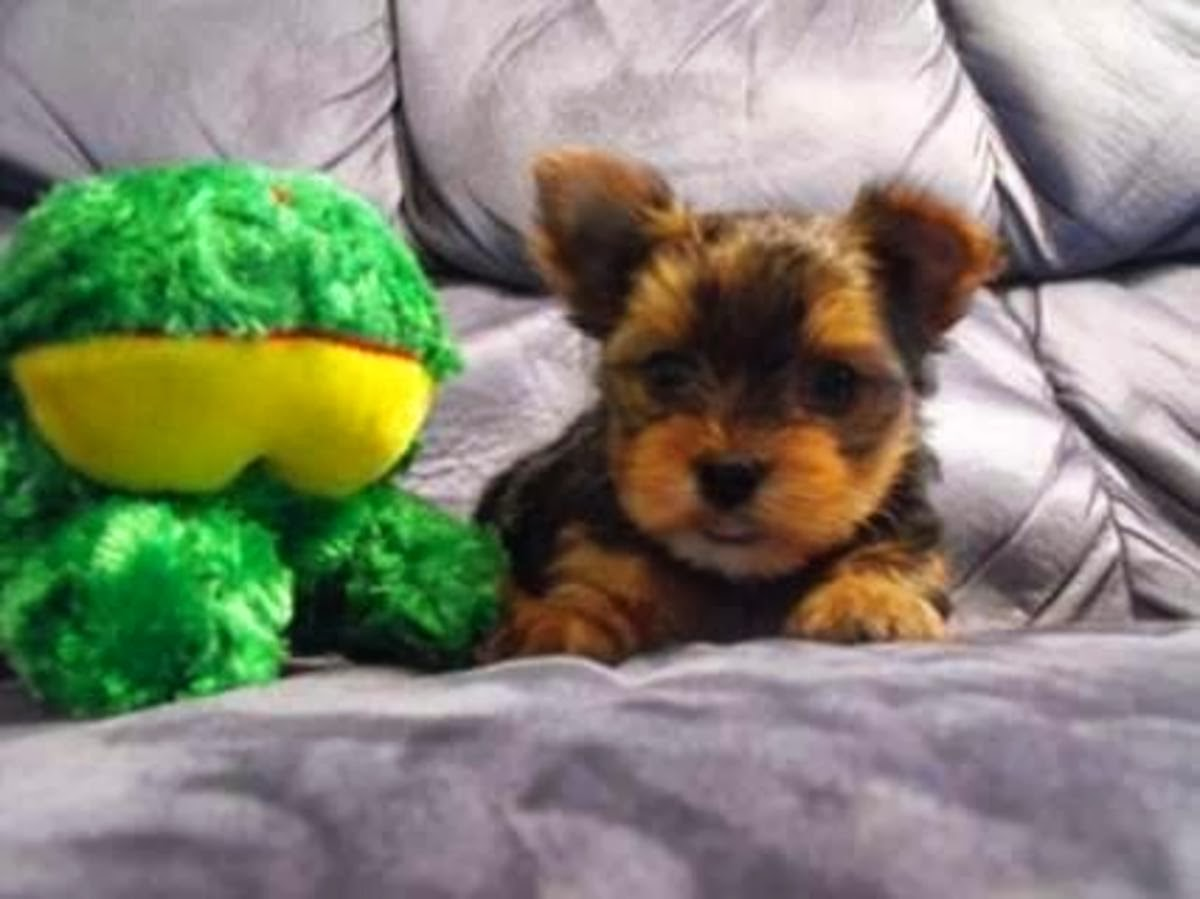 Pitbull Puppies For Sale Staten Island