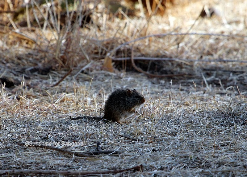 Abyssinian Gras Rat