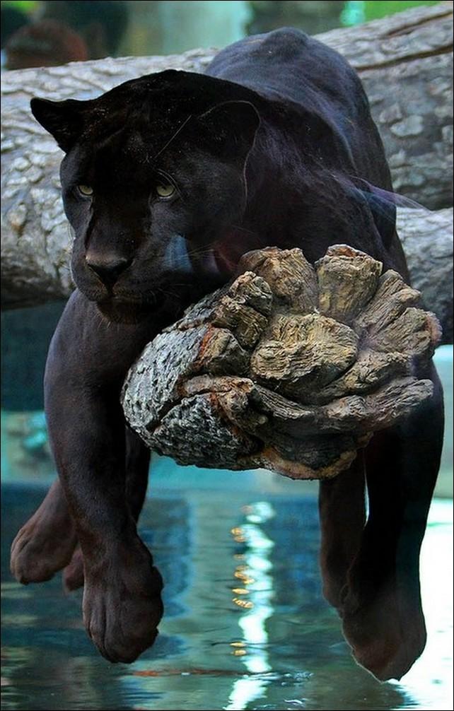 Чёрная пантера (17 фото) black panther