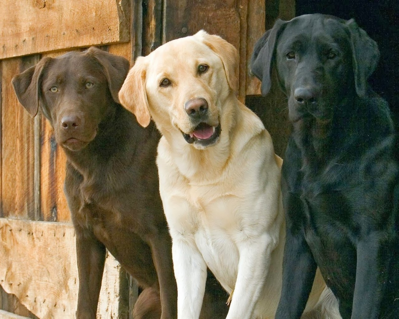 Picture of Labrador Retriever the 7th smartest dog in the world