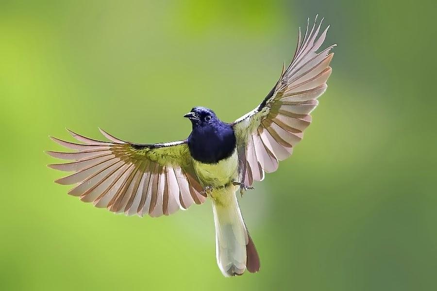 Gambar Burung Kacer Terbang Murah Harga Baru