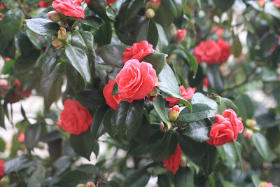 Camellia japonic branch