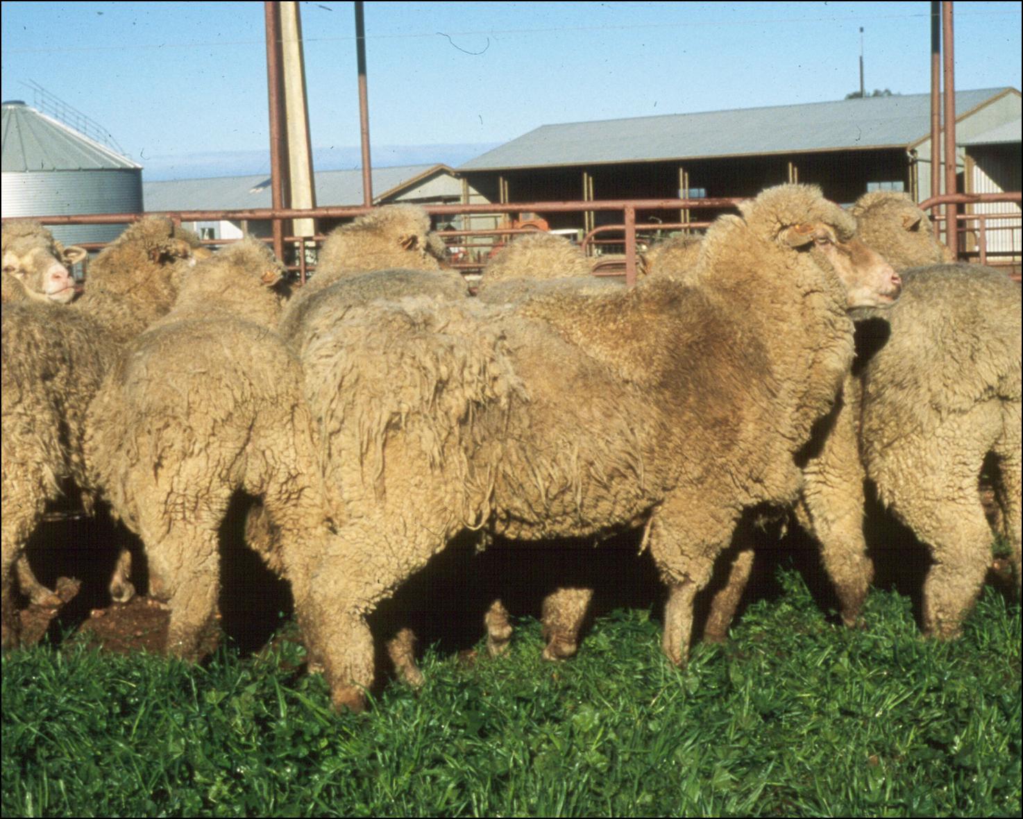 http://3.bp.blogspot.com/-OsQurYCku7U/TmBR1kt9XhI/AAAAAAAABco/5etZIw_jUms/s1600/sheep+with+lice.jpg