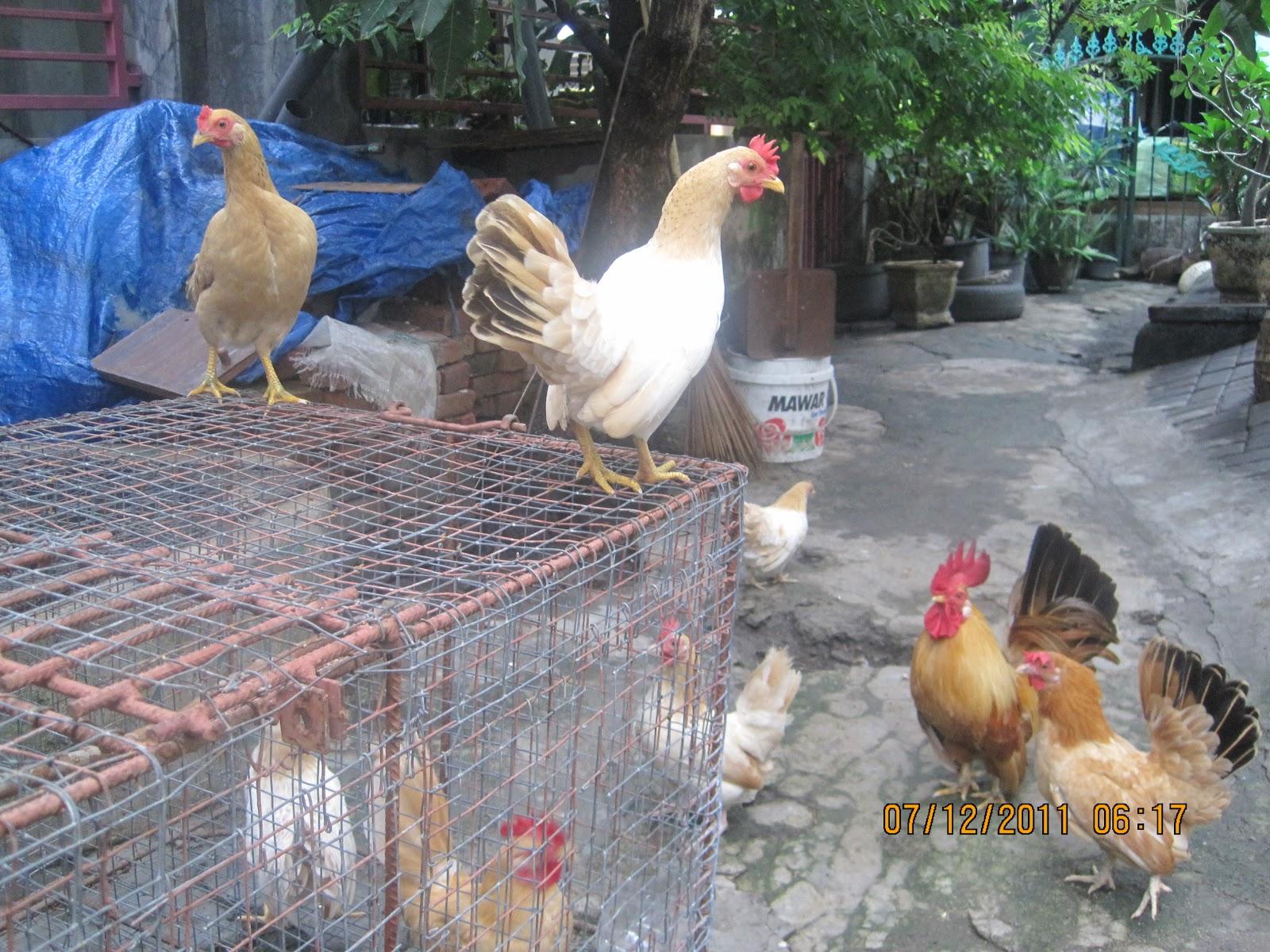 gambar ayam kate gambar ayam