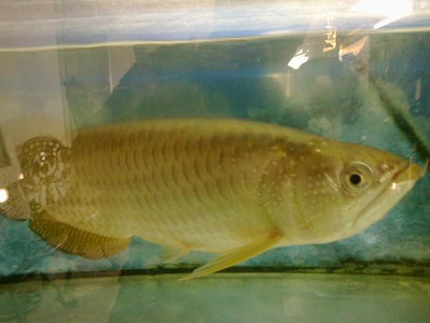10. Ikan Yellow Tandanus