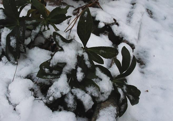 Julrosblad tittar upp under en tunt snötäcke.