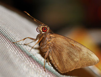 Gangara thyrsis - Giant Redeye Butterfly