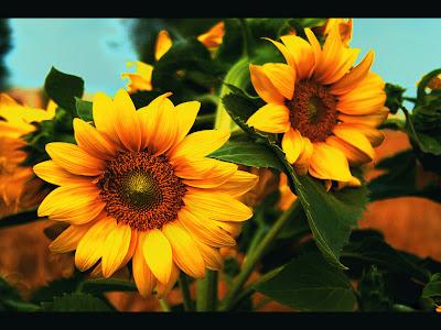 Koleksi Gambar Bunga Matahari Terindah