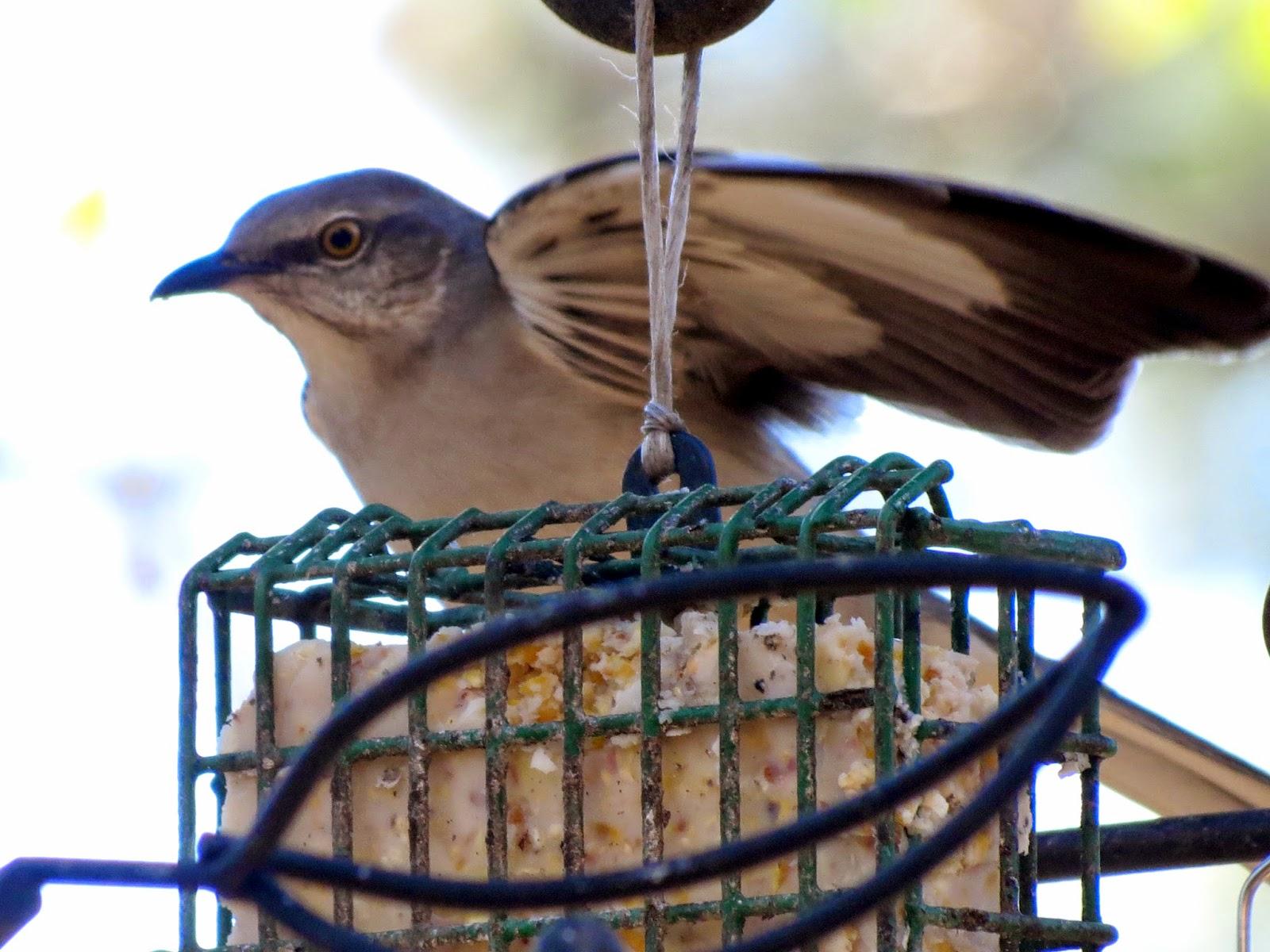 birdseyeviews winter 2015 backyard birds