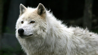 Wolf Wallpapers Widescreen