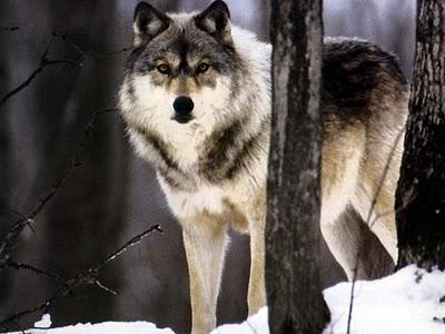 Manada: Guardianes del bosque - Página 6 Fondo%2Blobo%2B19