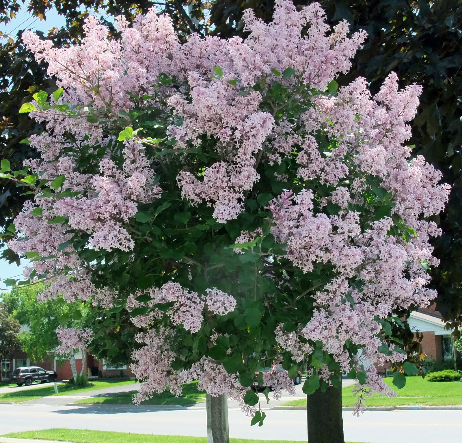 lilac tree - 28 images - 25 best ideas about lilac tree on ...