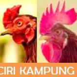 ciri ayam kampung pada ayam bangkok siam