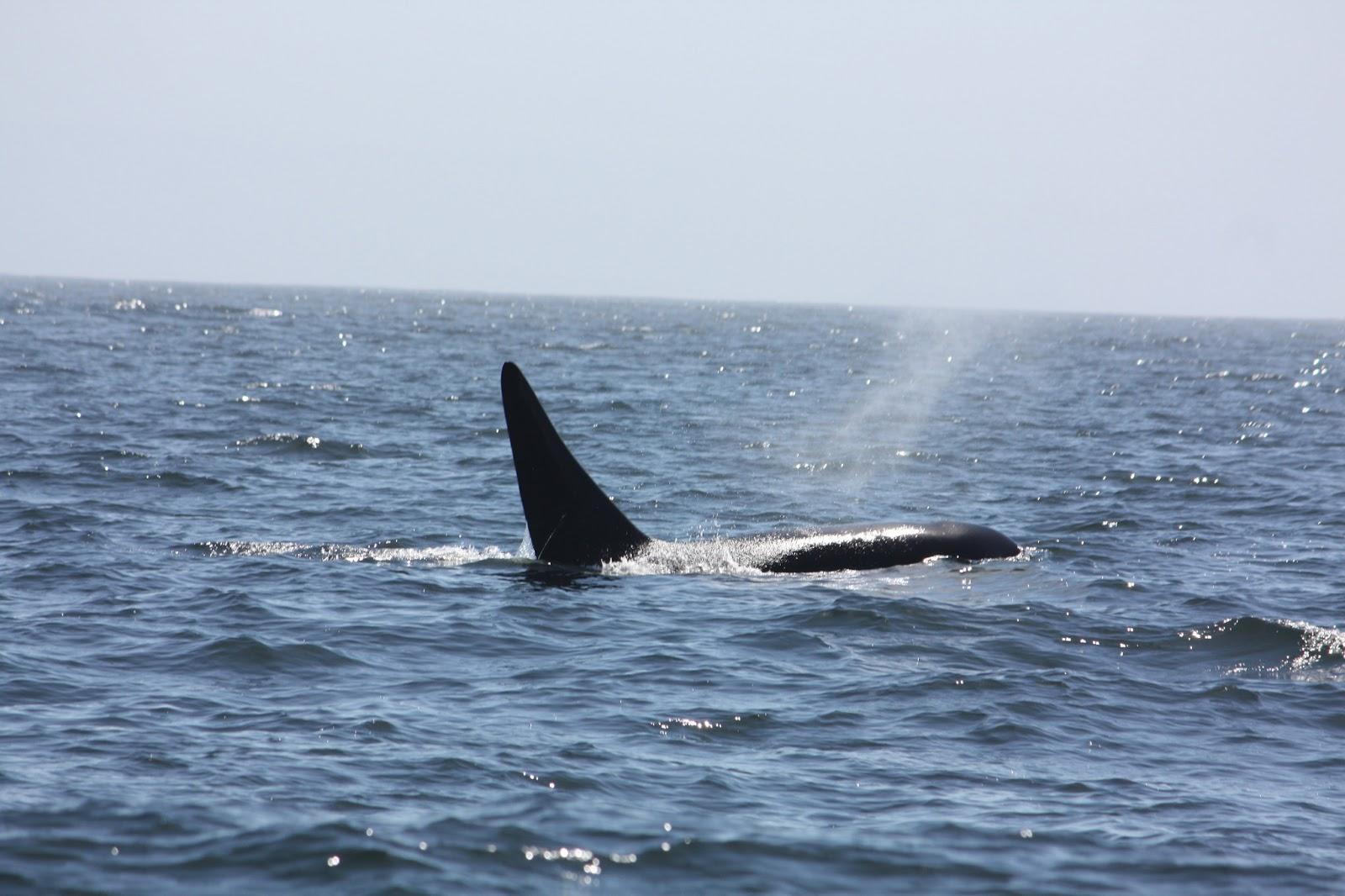 killer whale attacks - HD1600×1066