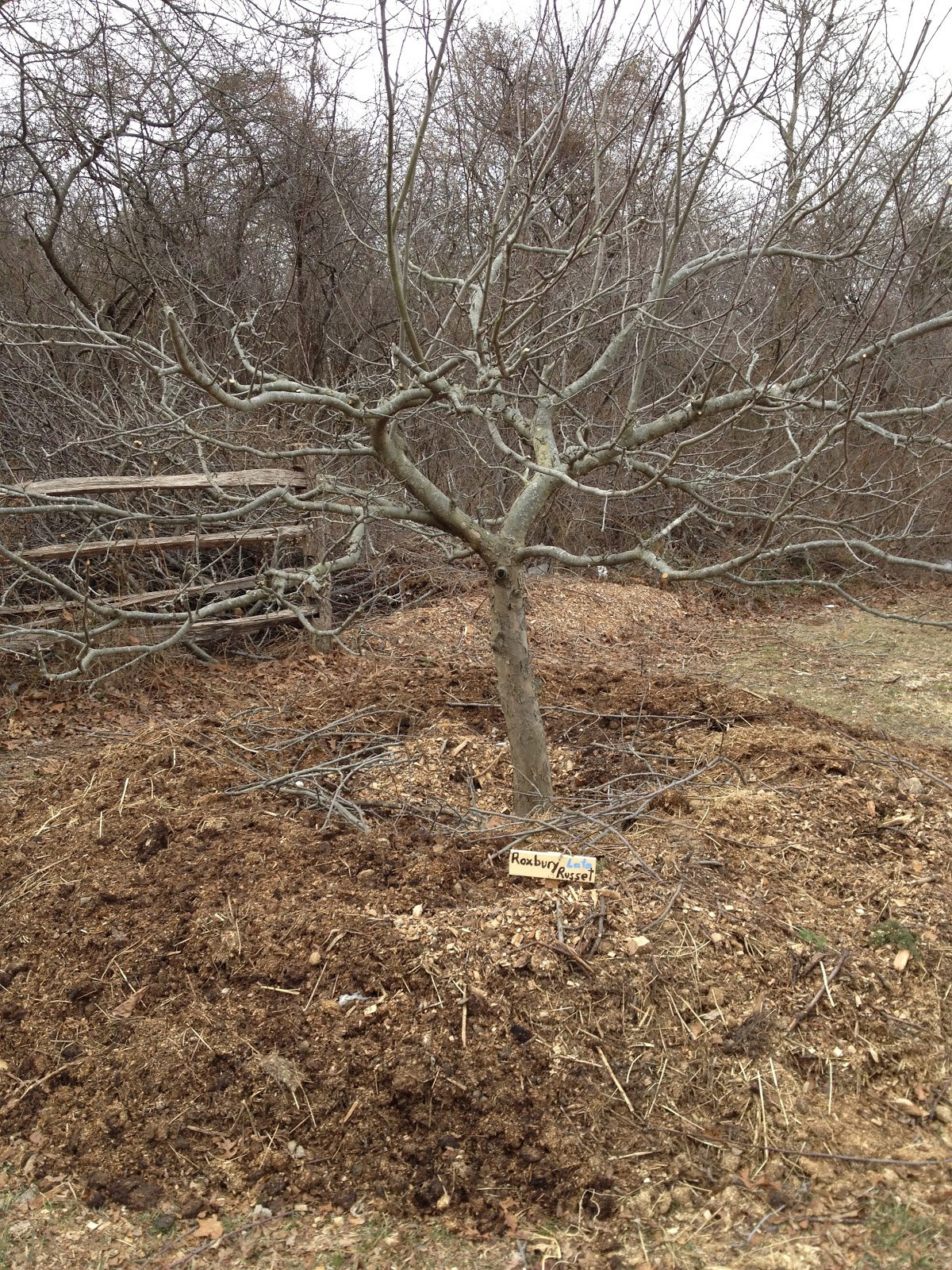 Culinary types pruning and renewal at apple trace - Spring trimming orchard trees healthy ...