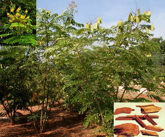 Caesalpinia sappan L. (Fam. Fabaceae)