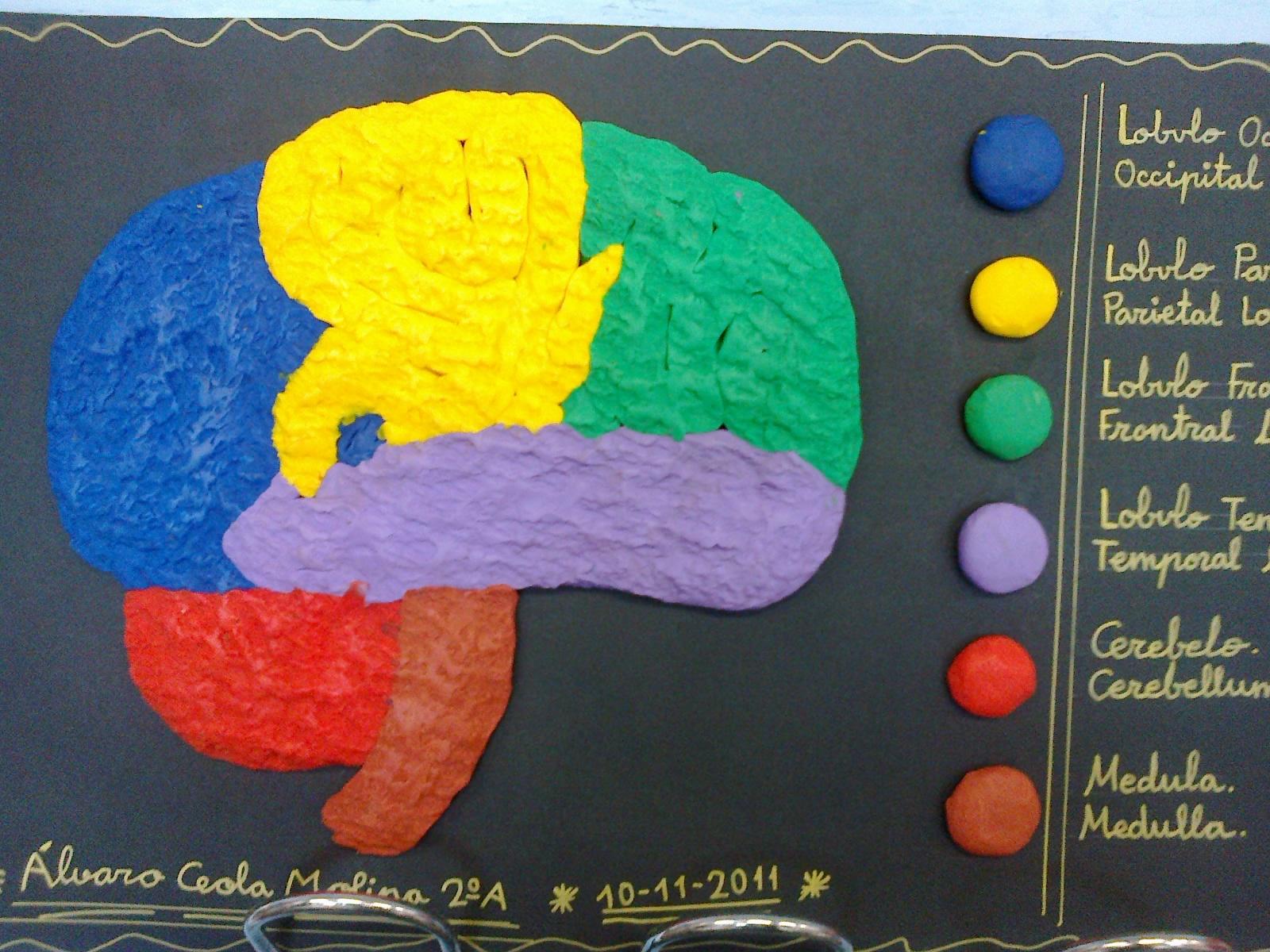 Como Hacer Un Cerebro De Plastilina Logran Hacer Crecer