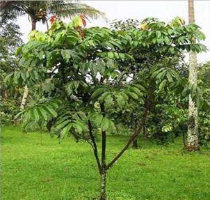 Matoa (Pometia pinnata) - flora yang ada di papua