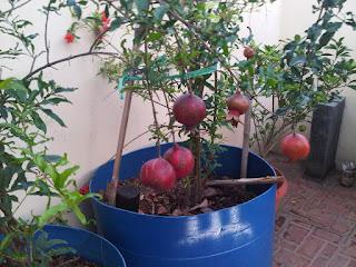 pohon buah delima
