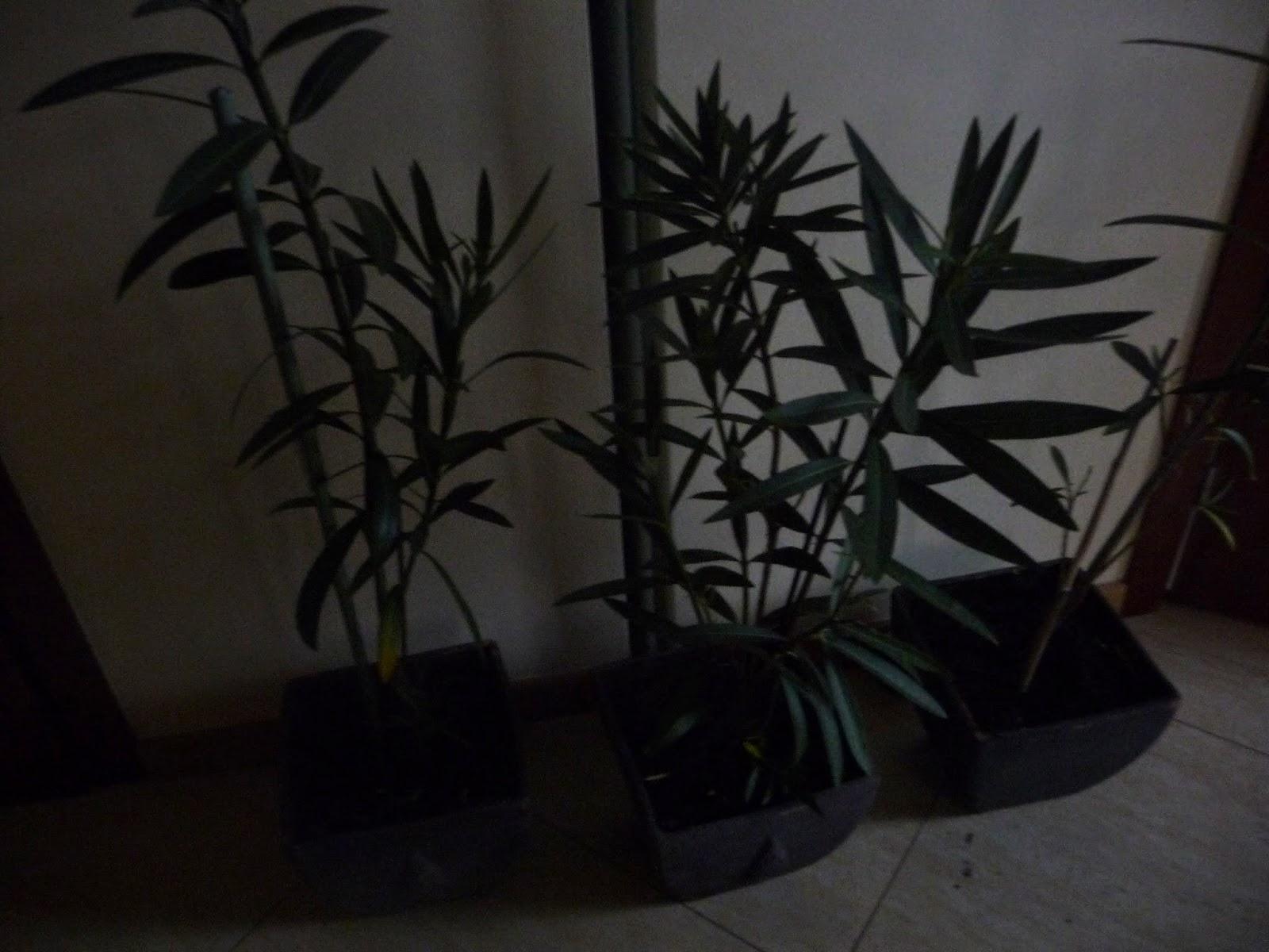 jak rozsadzić oleander
