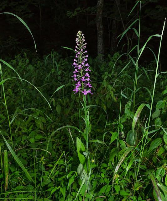 Purple Fringeless Orchid, Platanthera peramoena