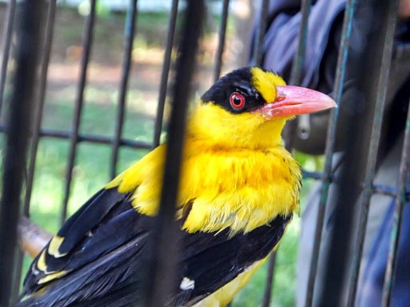 Perawatan Burung Kepodang Rajin Berkicau