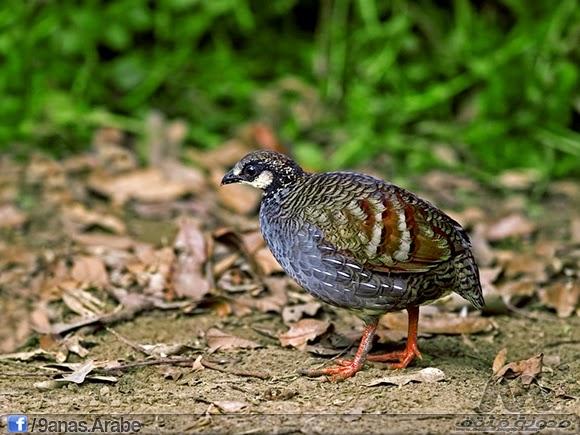 الحجل التايواني سمي بهذا الغسم نظرا للمنطقة الوحيدة اللتي يعيش فيها وهو يعيش فقط بالتايوان وويفضل التواجد في الغابات المعتدلة - والموائل الطبيعية وهو طائر مهدد