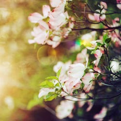 Fleur de pommier et...