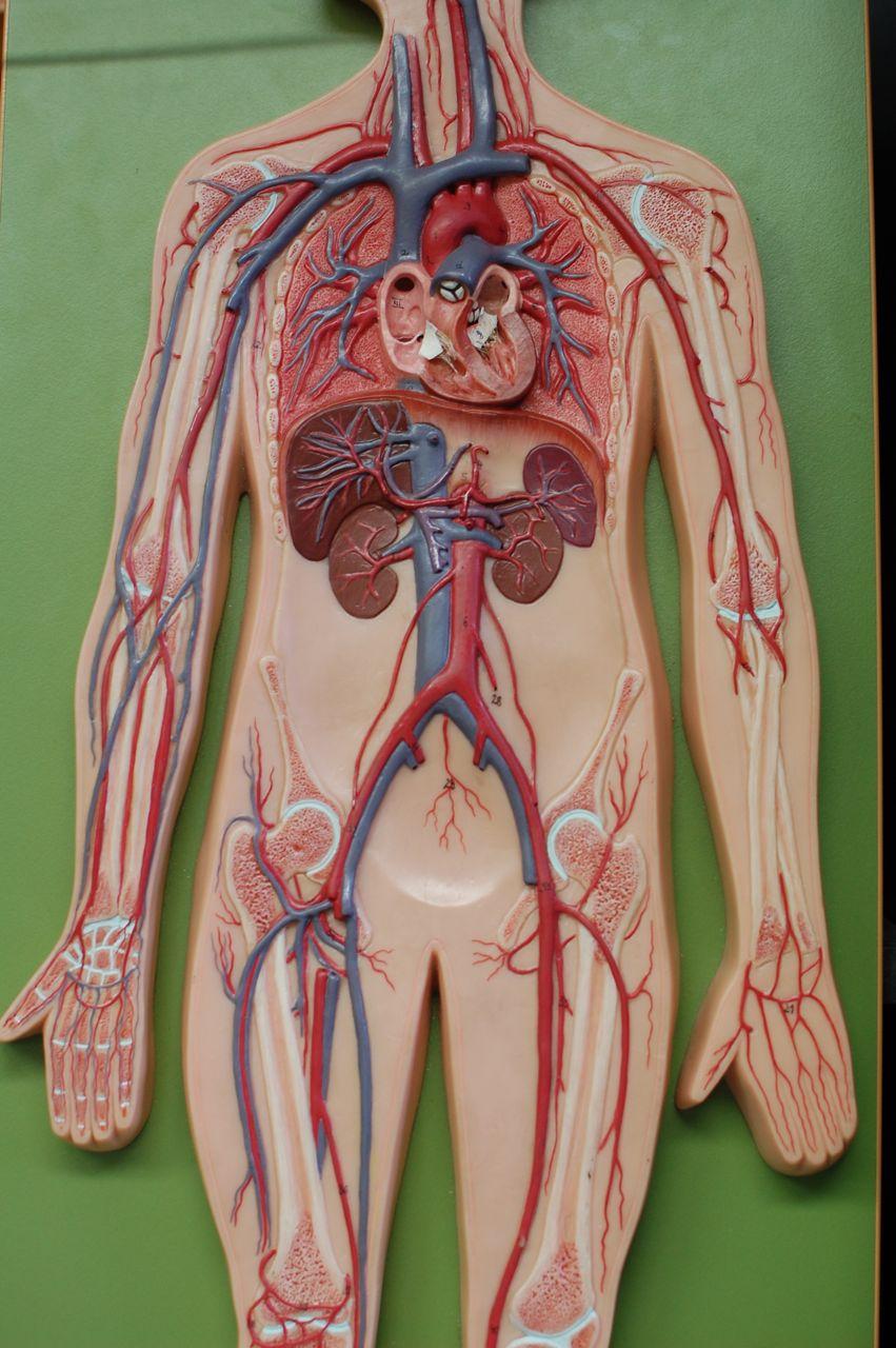 Human Anatomy Lab: Arteries and Veins