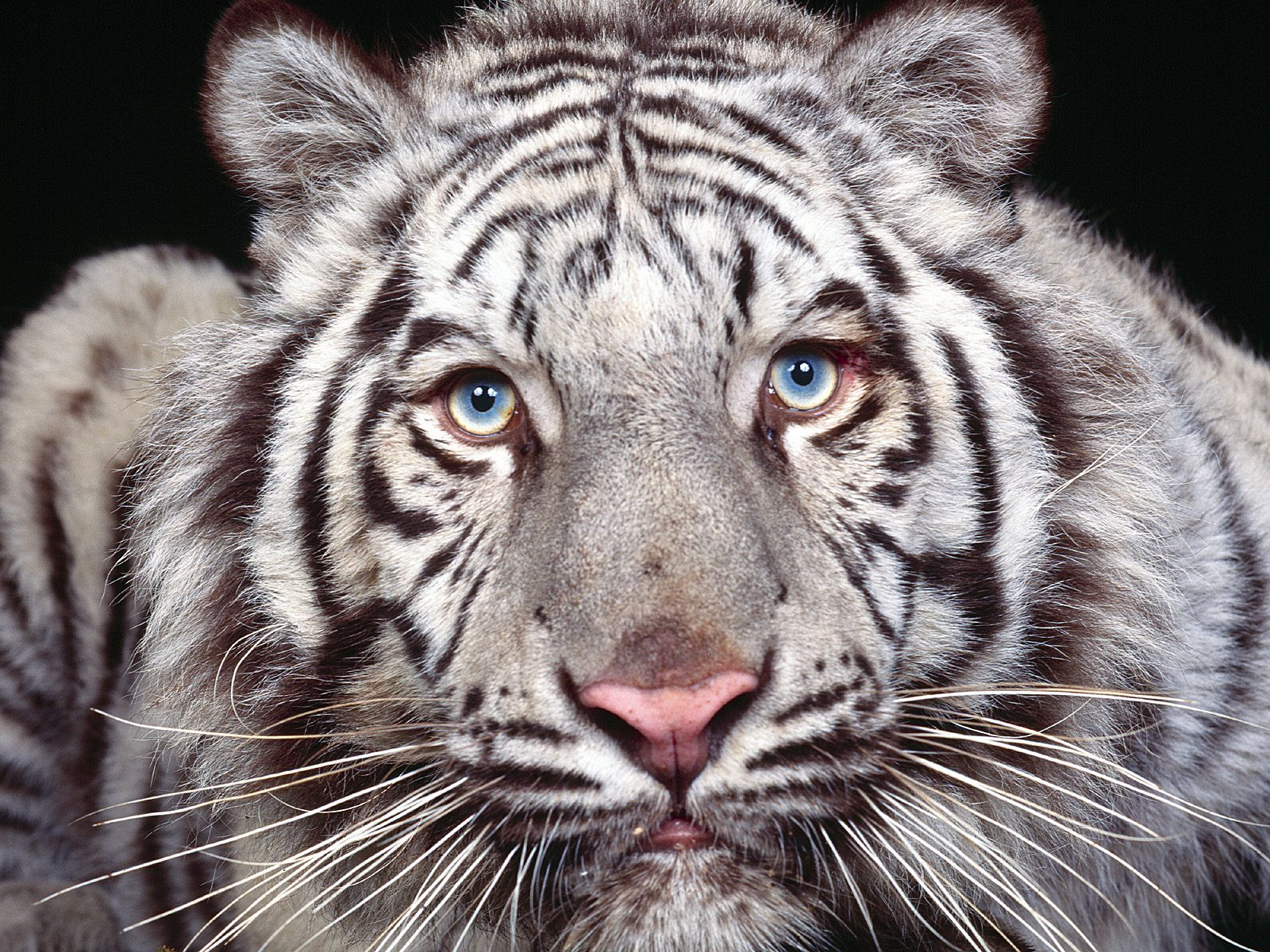 Image Gallary 3: Beautiful White Tiger Wallpapers for ...