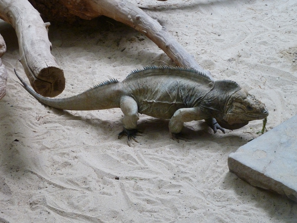endangered speciesthe rhinocerous iguana essay An endangered species is a population of organisms, which is facing high risk of becoming extinct because it is either few in numbers, or threatened by changing environmental or predation parameters there are a lot of endangered species in the world right now.